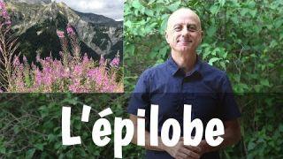 Epilobe : problèmes de prostate, cystites et diarrhées