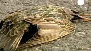 Le mystère des oiseaux morts gagne l'Europe